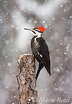 Pileated Woodpecker (Dryocopus pileatus) female during a snowstorm, New York, USA