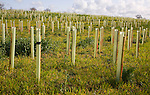 Planting of field with new woodland with sapling trees in protective plastic tubes Planting new hedgerow with tree saplings growing in protective plastic tubes