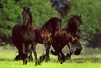 Three Friesian Horses. Friesians are a type of light draft horse.