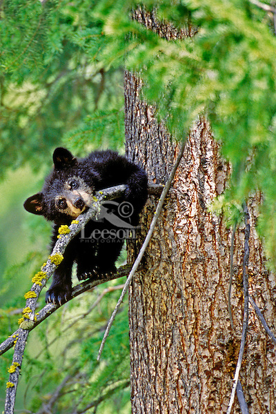 Black Bear cub resting in tree.  Western U.S.