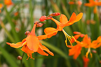 Crocosmia 'Star of the East' in orange flowers