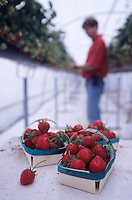 """Europe/France/Centre/41/Loir-et-Cher/Sologne/Soings-en-Sologne : Récolte des fraises """"Mara des bois"""" chez Jacques Marionnet"""