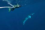 Dwarf minke whale passes a snorkler on a minke line of the Undersea Explorer (Balaenoptera acutorostrata)