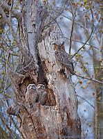 Great Horned Owl family, Burlington County, New Jersey