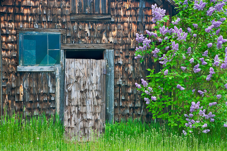 Lilacs in bloom, window, and barn wall detail on a farm in Sister Bay; Door County, WI