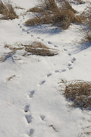 Animal tracks in the snow after a storm.