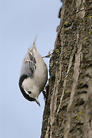 White-breasted nuthatch perched on the side of a tree
