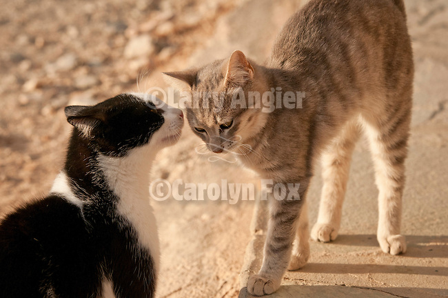 Black and white and gray tabby cats at the Ampelos Resort hotel, Chora, Folegandros, Greece