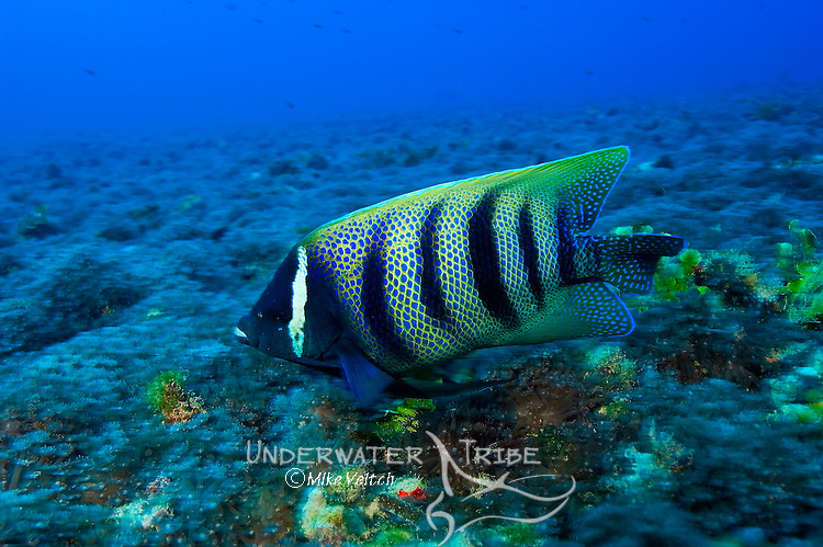 Six-banded Angelfish, Pomacanthus sexstriatus, Yap, Federated States of Micronesia, Pacific Ocean