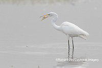 00688-02507 Great Egret (Ardea alba) feeding in wetland in fog, Marion Co., IL