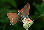 False Ilex Hairstreak Butterfly, Satyrium esculi, pair getting ready to mate, side view on flower, Provence.France....