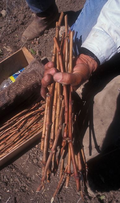 Grape clones are  prepared for grafting to root stock.