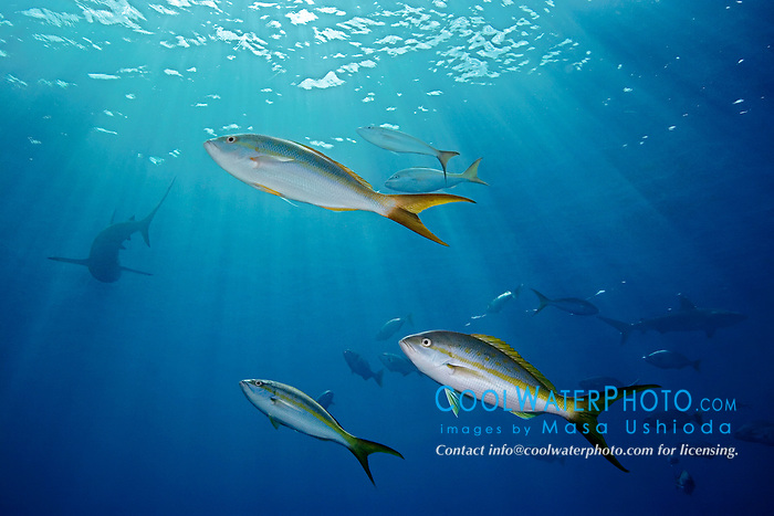 yellowtail snappers, Ocyurus chrysurus, and Caribbean reef sharks, Carcharhinus perezi, West End, Bahamas, Atlantic Ocean