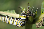 Monarch - Danaus plexippus- Caterpillar on the side of a hiking trail in the White Mountains, New Hampshire  USA. .Notes:.Monarch Caterpillar eats the leaves of milkweed plants which are poisonous to most animals. Cardenolides is poisonous to most animals.