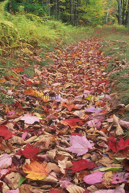 Fall leaves in a trail in the Eastern Deciduous Forest, USA.