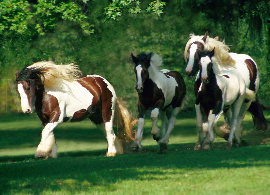 Gypsy Vanner Mares and foals gallop across paddock. equine, horses, animals. #258 HR Gypsy M&Fs.