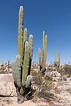 Catavina, Baja California, Mexico; several Cardon Cactus in the rocky desert