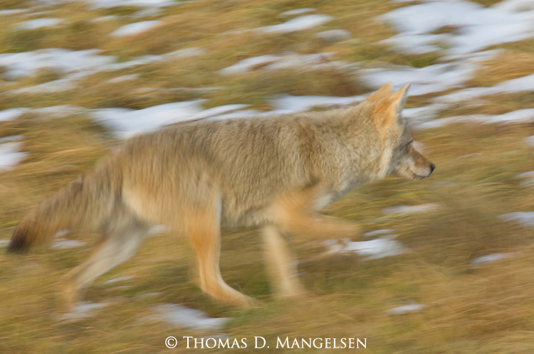 A coyote runs through patches of snow and grass in  Yellowstone National Park, Wyoming.