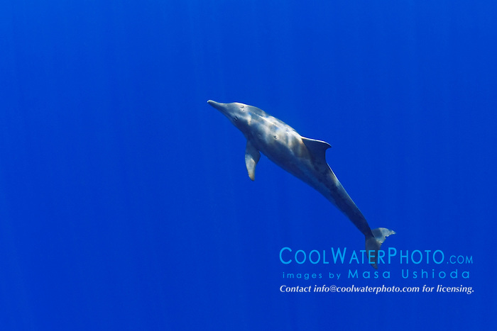 Rough-toothed Dolphin, Steno bredanensis, off Kona Coast, Big Island, Hawaii, Pacific Ocean.