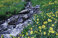 Mountain stream and wildflowers,Heartleaf Arnica,Arnica cordifolia, Ouray, San Juan Mountains, Rocky Mountains, Colorado, USA, July 2007