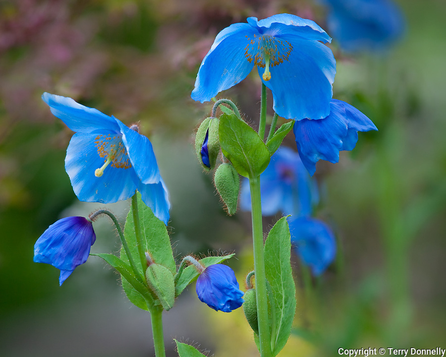 Vashon Island, Washington<br /> Himalayan blue poppy (Mecanopsis grandis)