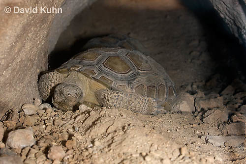 0609-1022  Desert Tortoise Sleeping in Underground Burrow to Rest and Escape Heat (Mojave Desert), Gopherus agassizii  © David Kuhn/Dwight Kuhn Photography