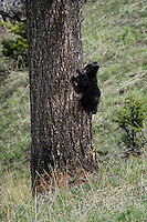 Black Bear Cub, 2015 year