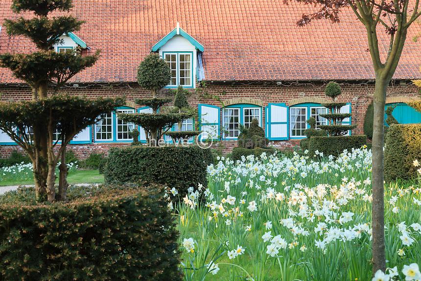 Jardin de la Ferme du Mont des Récollets : la ferme et la prairie de narcisses, N. poeticus 'Actaea'(Narcisse des poetes), N. double,' Lingery', 'Manly' à très grosses fleurs parfumées, N. double 'Snowball', N. jonquilla plus petit 'Buffawn'(blanc-orangé) et ifs taillés en topiaires. // France, garden of Ferme du Mont des Récollets, the flemish farm and the meadow with narcissus and yews