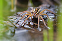 Raft Spider female {Dolomedes fimbriatus} resting on the surface of a moorland pool. Nordtirol, Austrian Alps, June.