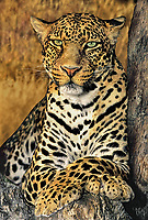 65430908b african leopard panthera pardus portrait of a male on a log endangered species native to sub-saharan africa <br /> wildlife rescue