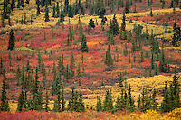 During the last week of August and the first week of September the tundra of Denali National Park becomes drenched in a rainbow of color.