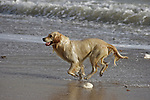 golden labrador,waves