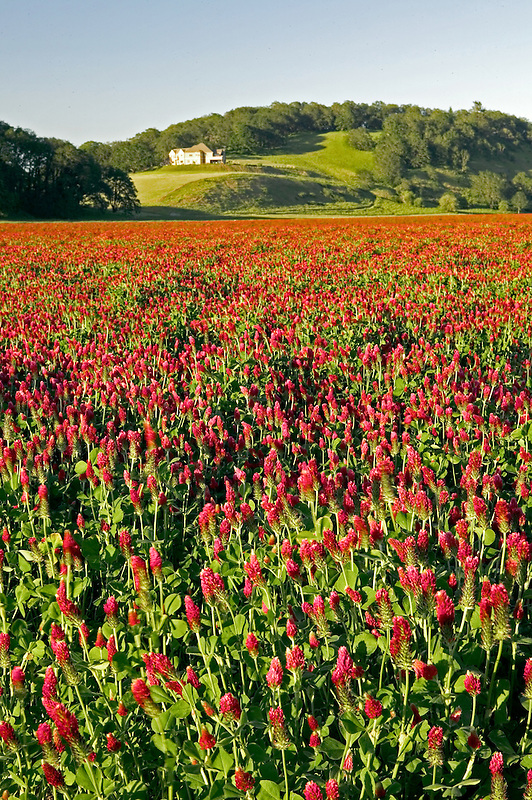 Crimson Clover and house. Near Monroe, OR