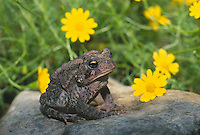 American toad, Bufo Americanus, sitting on a rock beside yellow Dahlberg daisies