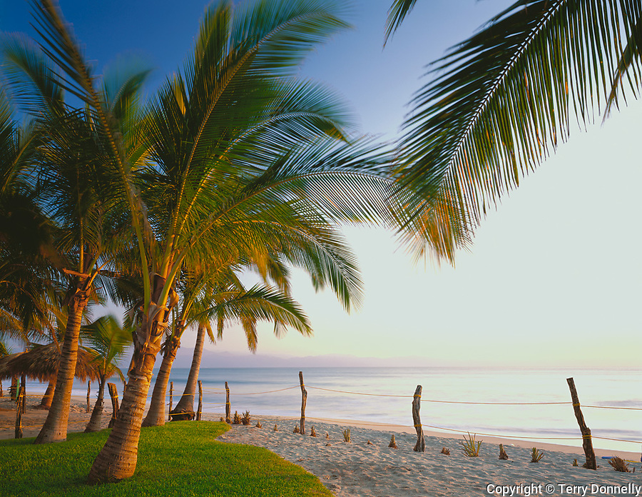 Nayarit, Mexico<br /> Coconut Palms (Cocos nucifera) in late afternoon light, on the beach of Bahia de Banderas (Banderas Bay) near the village of Bucerias