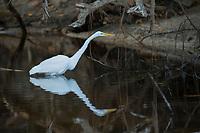 White Egret fishing<br /> St. John<br /> US Virgin Islands