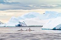killer whale or orca, Orcinus orca, Type B orca, Antarctic Peninsula, Antarctica, Southern Ocean