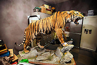 "A stuffed Manchurian tiger for sale in Western Chinese city of Kunming, Yunnan Province for three million RMB, <br /> (282,532 UK pounds).  The tiger a rare and severely endangered species, mostly extinct in China, was for sale in a back room of a shop in a luxury part of the city.  The shop-owner claimed that the tiger sale was registered as legal. China's wild tiger population has been all but decimated but the country currently has an on going breeding program and there are more tigers in ""tiger farms"" than the world's entire wild population.  It has long been contended that the tiger farms provide tiger products ranging from tiger parts for medicine and bones for tiger wine, as well as stuffed whole animals and skins for collectors.  Animals groups have been campaigning to close down tiger farms for over a decade."