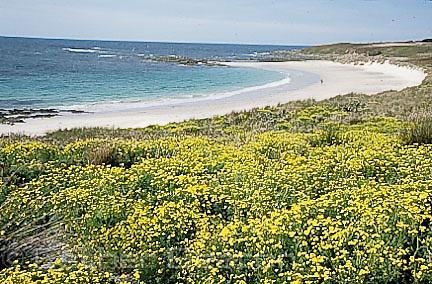Senecio madagascarensis, introduced plant, Broughton Island, Myall Lakes National Park, New South Wales