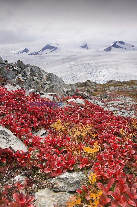 The Harding icefield in Kenai Fjords National Park in Alaska, USA with fall tundra vegetation in the foreground.