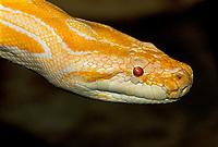 458000003 portrait of a captive albino burmese python python molorus bivitatus wildlife rescuea captive albino burmese python python molorus bivitatus wildlife rescue