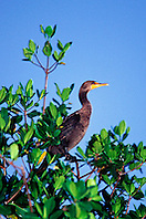Florida cormorant, Phalacrocorax auritus .floridanus, (subspecies of double-crested .cormorant) on red mangrove, Blackwater .Sound, Florida Bay, Everglades Nat?l Park