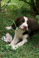 SH21-003z  Dog - English Springer puppies 3 weeks old
