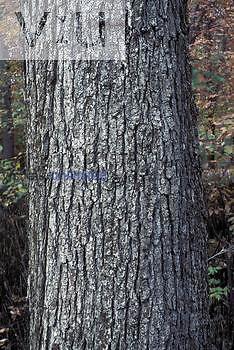 Bark of Bur Oak ,Quercus macrocarpa,