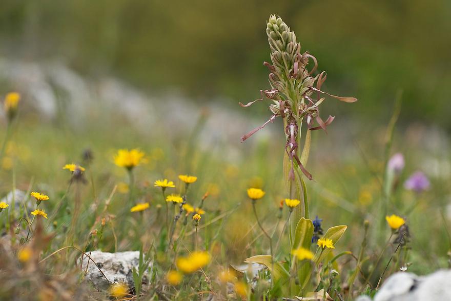 Apulia; Gargano Peninsula; Himantoglossum hircinum; Italy; Lizard Orchid
