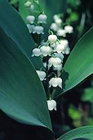 Lelietje-van-dalen  (Convallaria majalis)