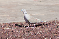 Eurasian-Collared Dove, Sn Quintin, Baja California, Mexico