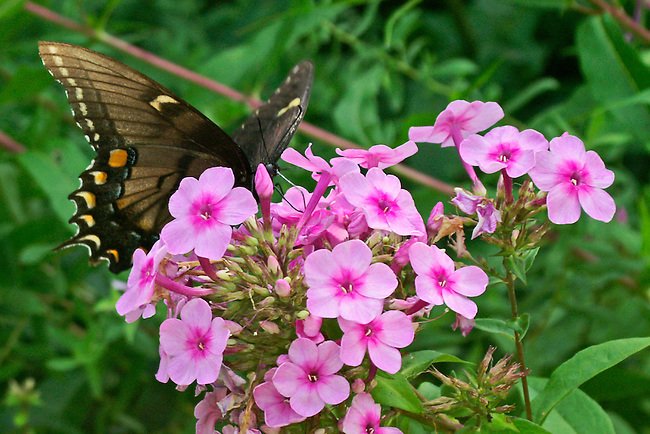 A broww/black, female Easter Tiger Swallowtail sipping from a bright pink flower against a multi-colored green background in a botanical gardien in North Carolina. The coloring of the darker version of the swallowtail is quite unique.