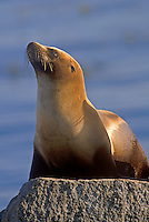 California Sea Lion resting on shore, Monterey, California