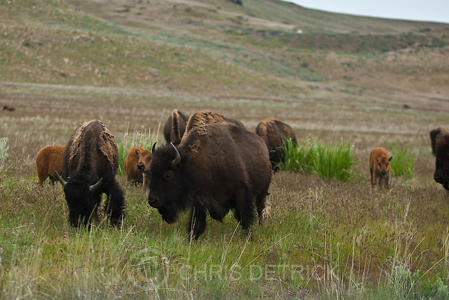 Photo by Chris Detrick | The Salt Lake Tribune .Bison on Antelope Island Friday May 27, 2011.